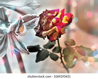 a bicolor rose in bloom, red and yellow, close-up. The flower is colored, a few leaves also, the rest of the image is in faded, graduated colors with delicate light reflections. and soft background.