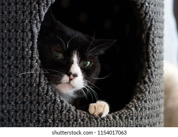 Bicolor or Tuxedo cat laying in a nest with his head peeking out.