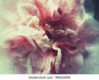 Bi-colored camellia