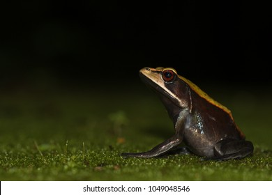 Bicolored frog or Malabar frog (Clinotarsus curtipes)