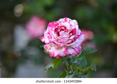Bi-colored pink and white rose