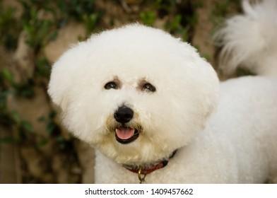 Bicon Frise dog head shot outdoors