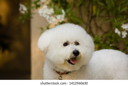 Bicon Frise dog portrait outdoors by flower vine