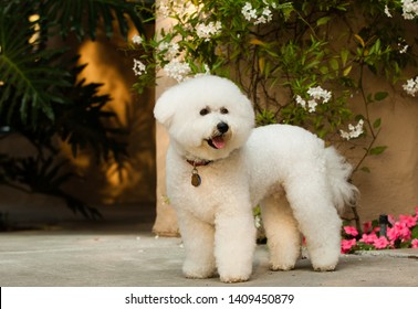 Bicon Frise dog standing on patio with flowers in the background
