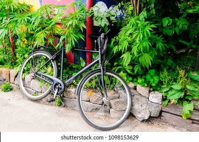 A bicycle is parked up against marijuana bushes in a garden in Freetown Christiana, Copenhagen.