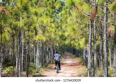Bicycling along Pine trees at Phukradueng national park , Loei, Thailand  Location Phukradueng national park ,Loei Thailand Date 24-11-2018