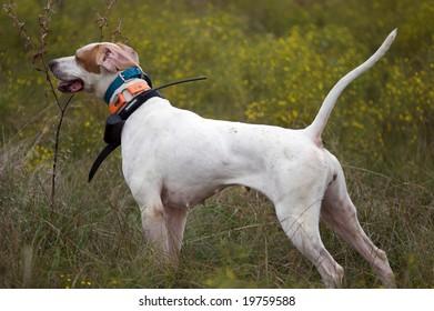 Bid Dog Training Hunting Quail