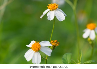 Biden alba or Spanish Needle, Scientific Name Bidens pilosa L. Are weeds and herbs. Beautiful white flower with blurred natural background - Bidens pilosa var, Beautiful grass flowers Green background