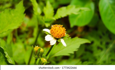 Bidens pilosa is an annual species of herbaceous flowering plant in the daisy family Asteraceae.