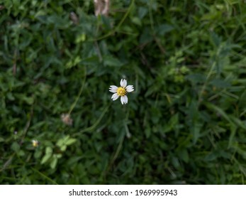 Bidens pilosa is an annual species of herbaceous flowering plant in the daisy family Asteraceae