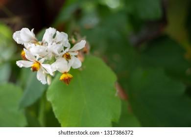 Bidens pilosa, Asteraceae Spanish needle, Beggars tick