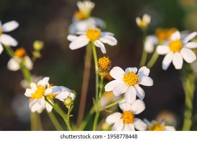 Bidens pilosa flower close up or white spanish needle macro blooming in garden with sunshine morning background