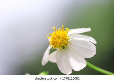 Bidens pilosa flower or white spanish needle macro blooming in garden nature outdoor background