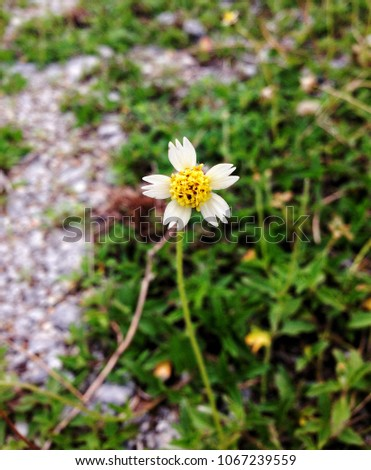 Bidens Pilosa Known Black Jack Tall Branched Stock Photo Edit Now