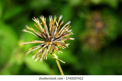 Bidens pilosa seeds. This pilosa can stick on clothes and it is difficult to remove or dislodge from clothes once it sticked. isolated Bidens pilosa seeds.