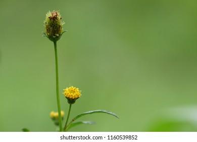 Bidens tripartita or three-lobe beggarticks, three-part beggarticks, leafy-bracted beggarticks or trifid bur-marigold