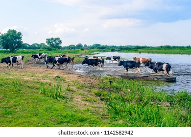 Biebrza Natural Park  - cows crossing river in small willage Brzostow