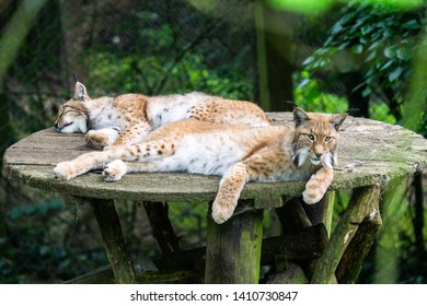 """Bielefeld, Germany - May 26th 2019 Lynxes resting in the """"olderdissen"""" Animal-Park"""