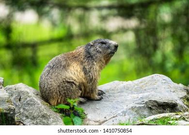 "Bielefeld, Germany - May 26th 2019 Marmot in the ""Olderdissen"" Animal Park"