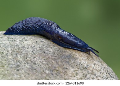 Bielzia coerulans, commonly known as the Carpathian blue slug or simply the blue slug, is a species of very large land slug, a terrestrial pulmonate gastropod in the family Limacidaethe keelback slug
