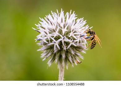 Biene Bee Flower Macro Sommer Summer Blume
