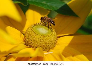 Biene Honigbiene auf Blume