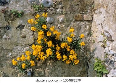 The biennial Wallflower