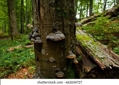 Bieszczady National Park -  Beech forest in Poland.
