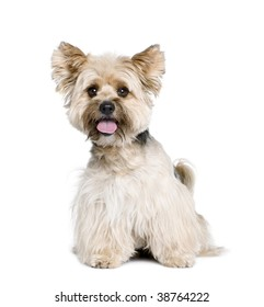 Biewer Terrier, 4 years old, in front of white background, studio shot