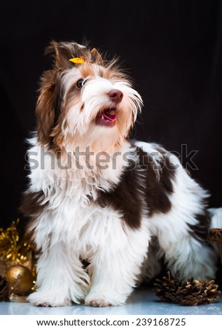 Biewer Yorkshire Terrier Christmas Decorations Stock Photo Edit Now