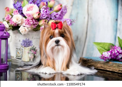Biewer Yorkshire Terrier and Flowers