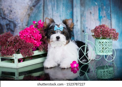 Biewer Yorkshire Terrier and flowers bouquets