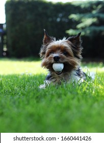 Biewer Yorkshire Terrier lies in grass and in mouth has big golf ball. Relax in the shadow in hot summer days. Puppy with owner plays on retrieval. Obedient, games, outdoor activity.
