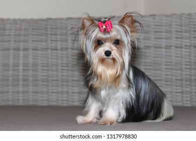 biewer yorkshire terrier puppy laying down on the couch, biewer puppy on the couch, colorful yorkshire terrier laying down