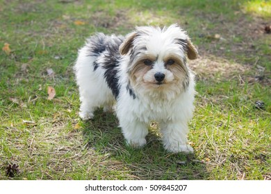 Biewer yorkshire terrier is staying on the green grass