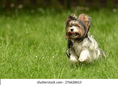 Biewer-Yorkshire terrier