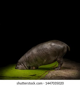 Big adult hippo is hiding its head from problems in a pond at black background, closeup, details, concept