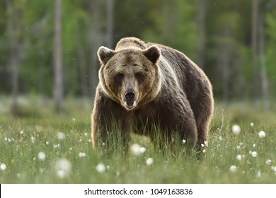 Big adult male brown bear. Serious look of brown bear.