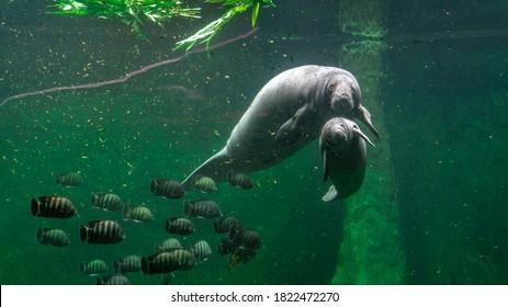 Big adult manatee and a baby swimming inside aquarium