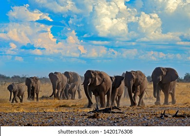Big African Elephants herd, with blue sky and white clouds, Etosha NP, Namibia in Africa. Elephant in the gravel sand, dry season. Wildlife scene in the nature. Blue sky with white clouds.