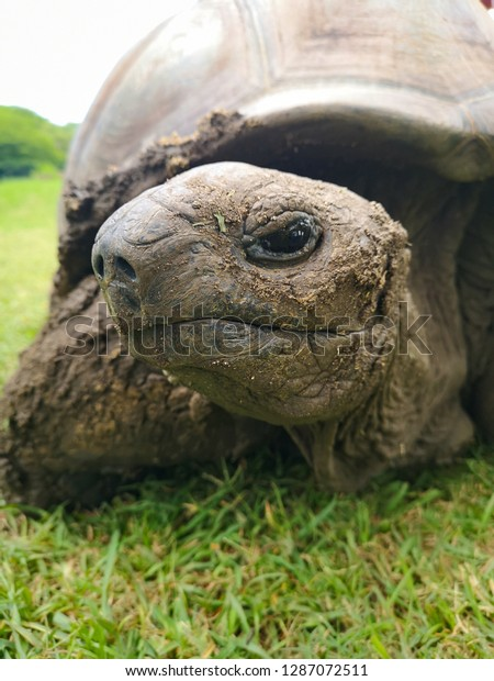 big african turtle