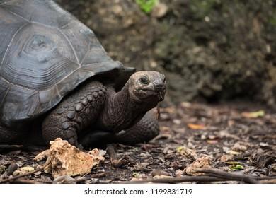 Big Aldabra tortoise, Zanzibar (close-up)