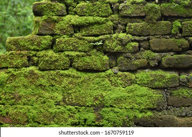 Big amount of green moss on brick wall. Frontal shot of an old stone wall with green moss on it.