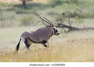 Big antelope, Gemsbok, Oryx gazella, territorial male in mating season chasing a second male after fight for dominance. Running oryx antelope, Kalahari, South Africa.