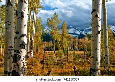 Big Aspen Tree Trunks near Ridgway Colorado