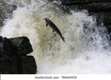 Big Atlantic salmon jump the rapid in fresh water