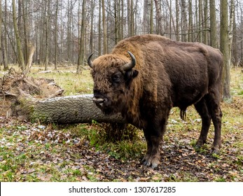 Big Auroch standing in the forest. The European bison (Bison bonasus), also known as wisent or the European wood bison, Russia
