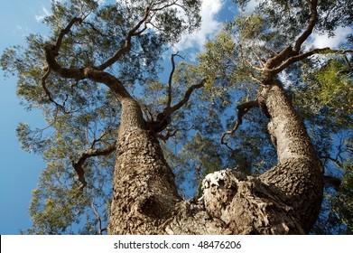 Big Australian gum tree blue sky on background