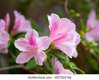 Big  azalea or rhododendron in garden