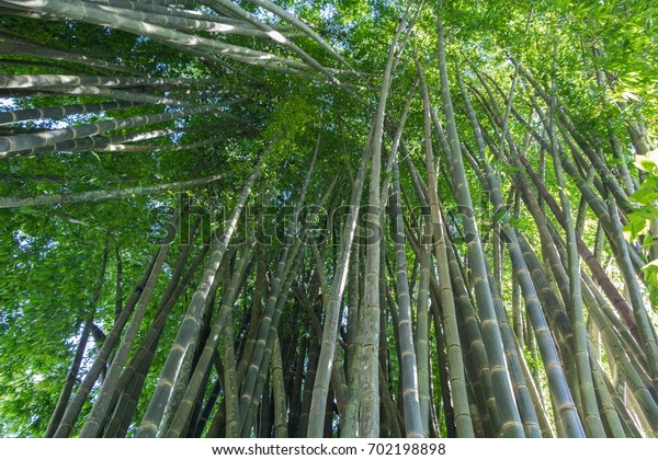 Big Bamboo grove, bamboo forest at Maehongson, Thailand, beautiful green nature background.